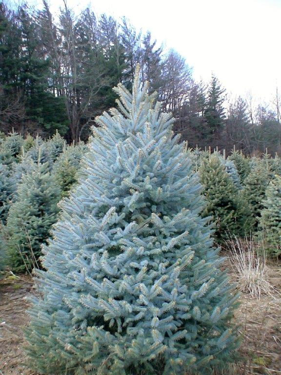 COLORADO_SPRUCE-Christmas-Tree-Farm-Sparta-NC