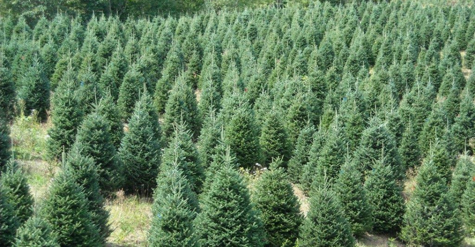 FRASER FIRS at Bryans Christmas Tree Farm in Sparta, NC