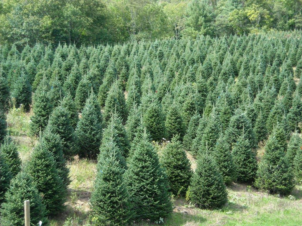 Fraser Fir at Farm in Sparta, NC