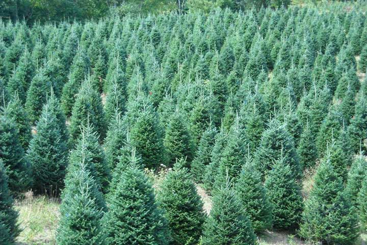 Fraser Fir Christmas Trees at Farm in Sparta, NC